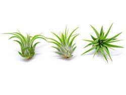 5 Miniature Fairy Garden Plants – Live Tillandsia Air Plants for Enchanted Gardens – ...