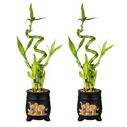 Set of Lucky Bamboo Five Stalk with Spiral Arrangements with Black Ceramic Elephant Standing Pla ...