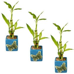 Live Lucky Bamboo | 3 Stalk Arrangements with Pots | Set of 3 (Blue)
